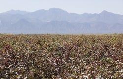 Campo del algodón Valle de Omo etiopía Imagen de archivo