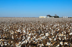 Campo del algodón Fotos de archivo