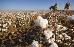 Campo del algodón en la cosecha Foto de archivo libre de regalías