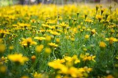 Campo del amarillo de la flor de la margarita del arrastramiento Foto de archivo
