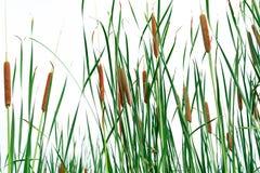 Campo del angustifolia de la Typha Hierba verde y flores marrones Cattails aislados en el fondo blanco Las hojas de la planta son fotografía de archivo libre de regalías