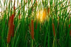 Campo del angustifolia de la Typha Hierba verde y flores marrones Cattails y luz del sol por la tarde Las hojas del ` s de la pla fotos de archivo libres de regalías