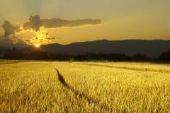 Campo del arroz Foto de archivo libre de regalías