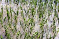 Campo del arroz Imágenes de archivo libres de regalías