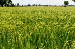Campo del arroz Imagen de archivo libre de regalías