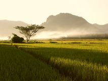 Campo del arroz Imagen de archivo