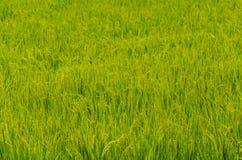 Campo del arroz Fotografía de archivo