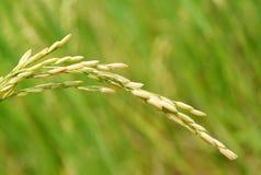 Campo del arroz Fotografía de archivo libre de regalías