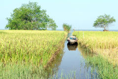 Campo del arroz al lado del lago Foto de archivo
