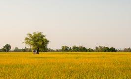 Campo del arroz antes de la cosecha en Tailandia fotografía de archivo