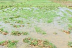 Campo del arroz antes de la estación sembrada Imagenes de archivo