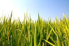 Campo del arroz con el cielo azul Imágenes de archivo libres de regalías