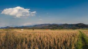 Campo del arroz con el cielo azul Fotografía de archivo