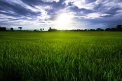 Campo del arroz con el cielo azul y las nubes Imágenes de archivo libres de regalías