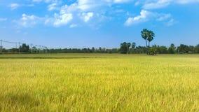 Campo del arroz con el fondo del cielo azul Imagen de archivo