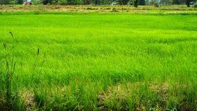 Campo del arroz con el soplo del viento almacen de metraje de vídeo