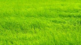 Campo del arroz con el soplo del viento almacen de video