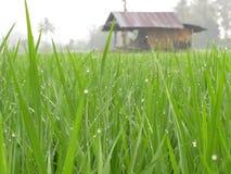 Campo del arroz con la cabaña Fotografía de archivo