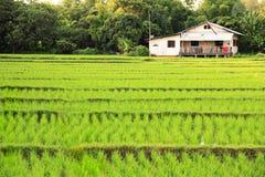 Campo del arroz con la casa Fotografía de archivo libre de regalías