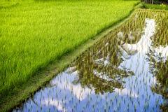 Campo del arroz con la plantación Foto de archivo libre de regalías