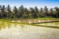 Campo del arroz con la plantación joven Imagenes de archivo