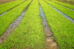 campo del arroz con la reflexión del cielo Imagen de archivo libre de regalías