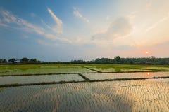 Campo del arroz con la reflexión en el tiempo crepuscular Imagenes de archivo