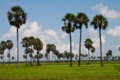 Campo del arroz con las palmeras Imágenes de archivo libres de regalías