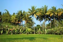 Campo del arroz con los árboles de coco Imágenes de archivo libres de regalías