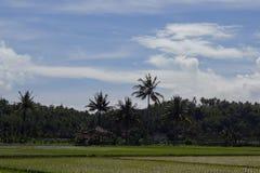 Campo del arroz con los árboles de coco en el fondo Fotografía de archivo libre de regalías