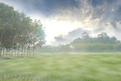 Campo del arroz con niebla Fotografía de archivo