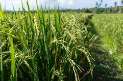 Campo del arroz de arroz con el fondo del cielo azul Fotos de archivo libres de regalías
