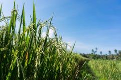 Campo del arroz de arroz con el fondo del cielo azul Foto de archivo