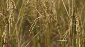 Campo del arroz de arroz con el soplo del viento almacen de video