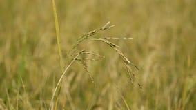 Campo del arroz de arroz con el soplo del viento metrajes