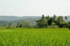 Campo del arroz de Beatifull Fotografía de archivo libre de regalías