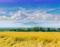 Campo del arroz de arroz con el cielo hermoso y clo foto de archivo libre de regalías