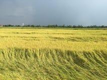 Campo del arroz de la caída debajo del cielo nublado Fotos de archivo libres de regalías
