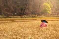 Campo del arroz de la cebada fotografía de archivo libre de regalías