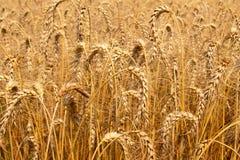 Campo del arroz de la cebada imagen de archivo libre de regalías