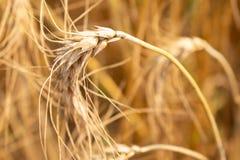 Campo del arroz de la cebada imagen de archivo