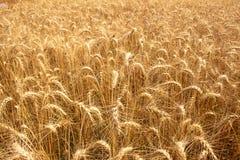 Campo del arroz de la cebada imagenes de archivo