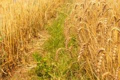 Campo del arroz de la cebada fotos de archivo