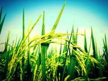 Campo del arroz de la falta de definición Imagen de archivo