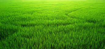 Campo del arroz de la hierba verde Imagenes de archivo