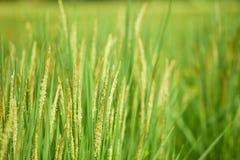 Campo del arroz de la planta de arroz fotos de archivo