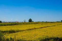 Campo del arroz debajo del cielo azul Imágenes de archivo libres de regalías