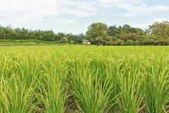 campo del arroz del jardín Koraku-en Fotos de archivo libres de regalías