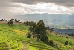 Campo del arroz del paisaje en la colina imagen de archivo
