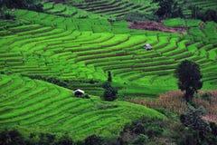 Campo del arroz del paso de progresión Foto de archivo
